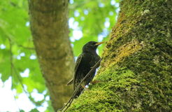 Starling  bird on tree trunk Royalty Free Stock Image