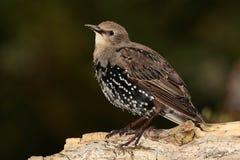 Starling  bird. Stock Image
