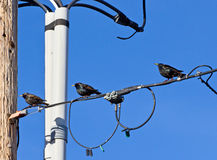 Starling Birds on Cables. Three European Starling birds sitting on a cable junction stock images