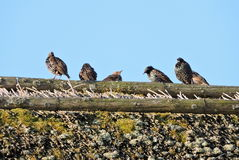 Starling birds Stock Photos