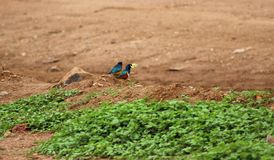 Starling Birds magnífico Imagens de Stock Royalty Free