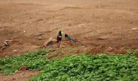 Starling Birds magnífico Imagens de Stock