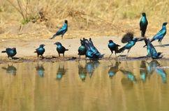 Starling Blue - afrikanischer wilder Vogel-Hintergrund - Spritzen der Farbe und des Lebens Stockfoto