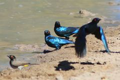 Starling - Blue and Purple Shine from Africa Stock Photos