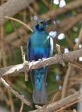 Starling Botswana à oreilles bleu Photo stock