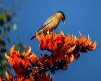 Starling Brahminy Lizenzfreies Stockfoto