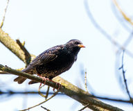 Starling on a branch Stock Photos
