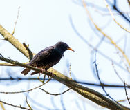 Starling on a branch Royalty Free Stock Photo