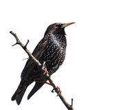 Starling on branch isolated on white Royalty Free Stock Photo