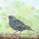 Starling on a branch Royalty Free Stock Images