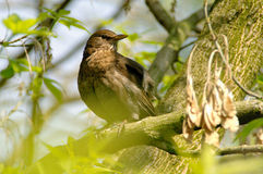 Starling on branch Stock Images