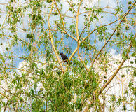 Starling on the branches of a weeping willow Royalty Free Stock Photography