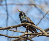 Starling in breeding plumage sings a spring song Stock Photos
