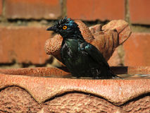 Starling. Stock Image