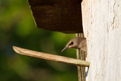 Starling chick in nest Royalty Free Stock Photography