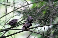 Starling chicks and father. In bush Stock Photography