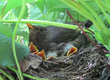 Starling with chicks in the nest Stock Photo