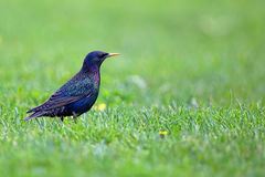 Starling in a clearing Stock Photos