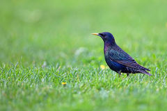 Starling in a clearing Stock Image