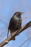 Starling closeup Stock Photography