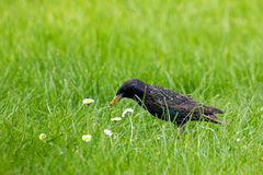 Starling Collecting Food Stock Photography