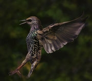 Starling coming in to land Royalty Free Stock Images