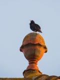 Starling commun Images libres de droits