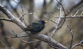 Starling común Foto de archivo libre de regalías