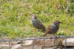 Starling comum Fotografia de Stock