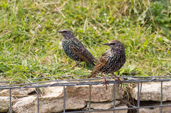 Starling comum Imagens de Stock