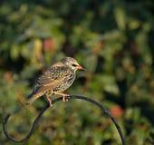 Starling comum na plumagem do inverno Fotografia de Stock