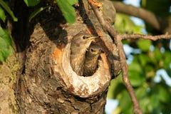 Starling comune Fotografia Stock Libera da Diritti