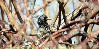Starling comune Immagini Stock