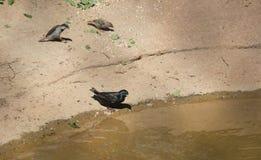 Starling comune Immagini Stock Libere da Diritti