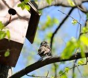 Starling, das auf Baum nahe Birdhouse sitzt Stockfotografie