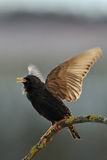 Starling, das im Früjahr singt Lizenzfreies Stockfoto