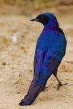 Starling del Burchell Fotografia Stock