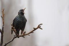 Starling di canto Immagini Stock Libere da Diritti