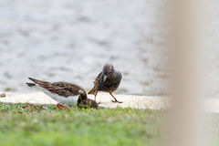 Starling disputing with ruddy turnstone Stock Image