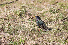 Starling in early spring. Starling on the grass in early spring Royalty Free Stock Image