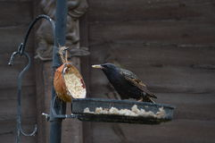 Starling eating. Starling on a garden bird feeder, eating fat out of a half coconut Royalty Free Stock Images