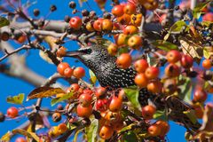 Starling eats fruits hidden in apple tree Royalty Free Stock Photos