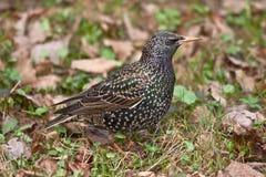 Starling en la hierba Imagen de archivo libre de regalías