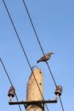 Starling en los alambres Imagen de archivo libre de regalías
