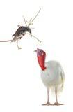 Starling en Turkije Stock Foto's