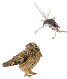 Starling en uil Stock Foto's