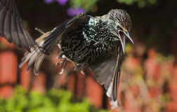 Starling en vol Photo libre de droits