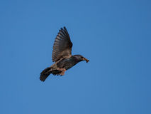 Starling en vuelo Imagen de archivo