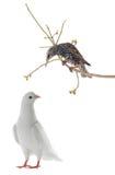 Starling en witte duif Royalty-vrije Stock Foto