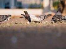 Starling Entered The Scramble para o alimento entre os pombos fotos de stock